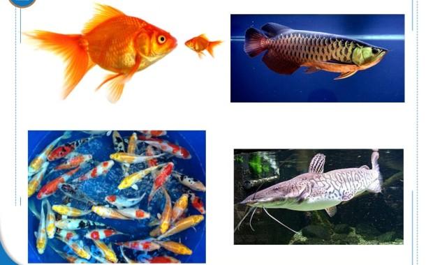 Người mệnh Mộc nên nuôi cá gì mang lại may mắn, giàu sang?