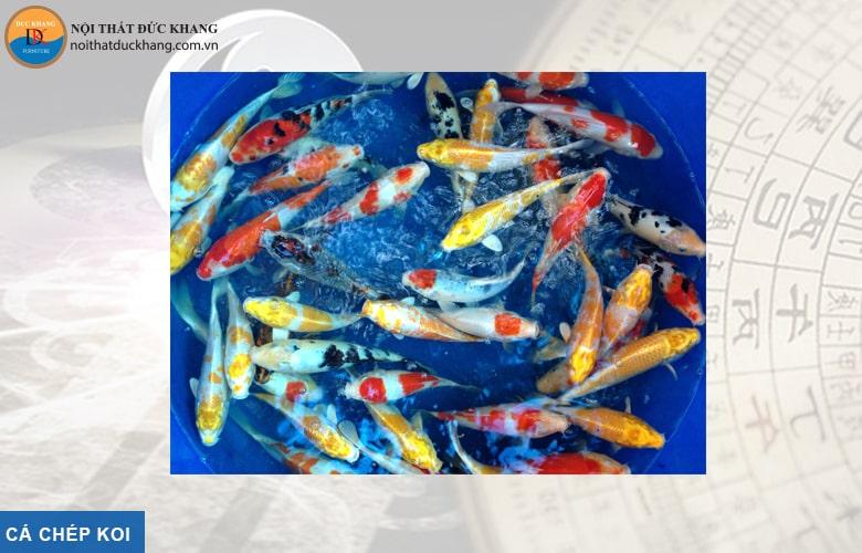 Cá chép Koi hợp phong thủy mệnh Mộc